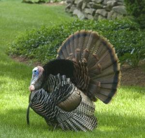 1250281_wild_turkey.jpg